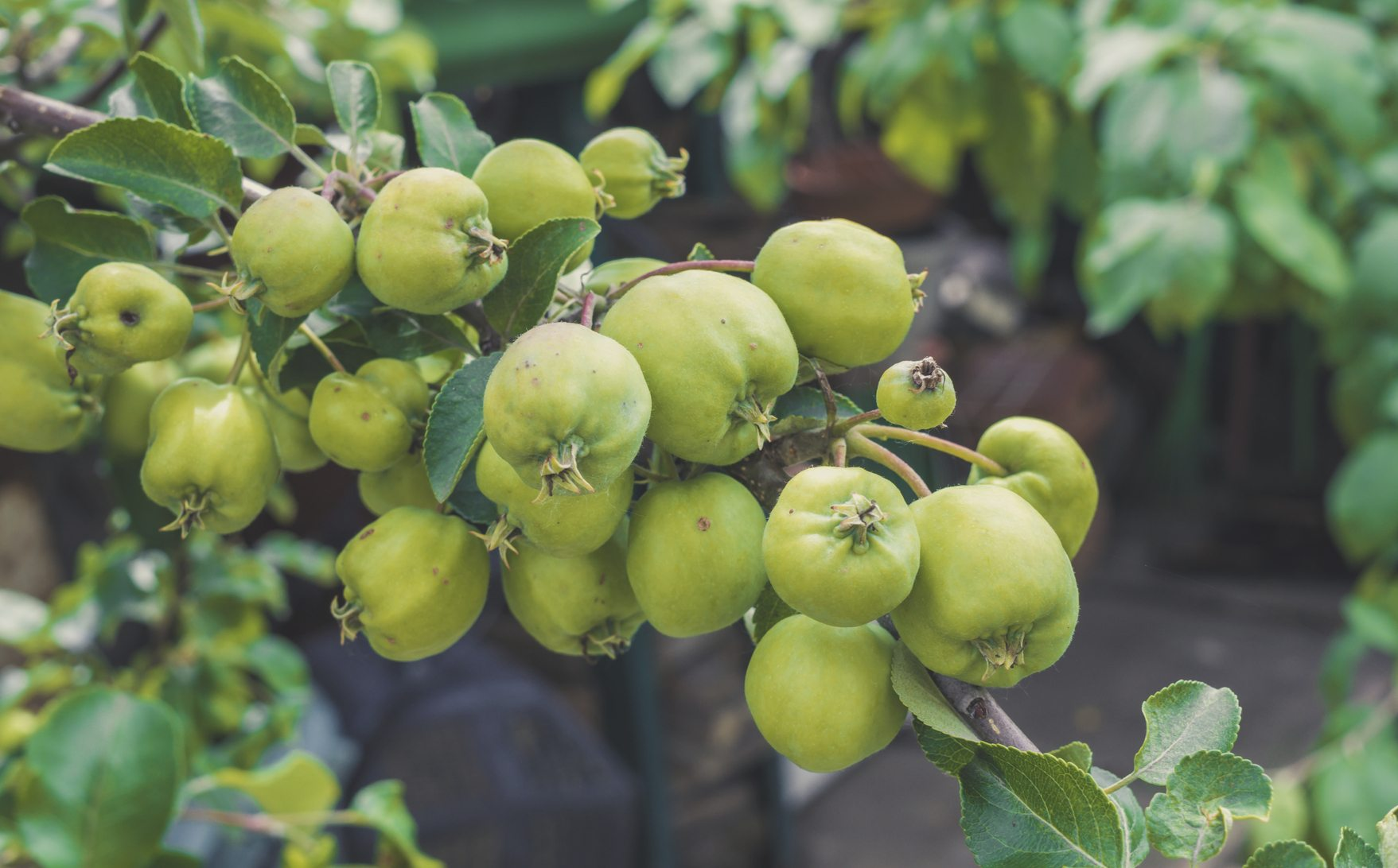 What Are the Advantages of a Stepover Apple Tree?